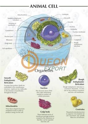 Animal Cell Chart