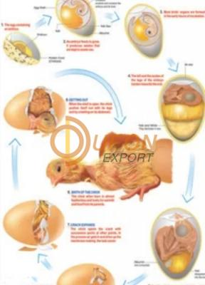 Birth of a Birds Chick Chart