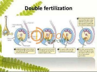Double Fertilization Chart