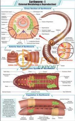 Earthworm - I External Morphology and Reproduction Chart
