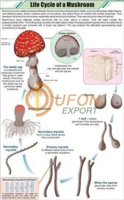 Life Cycle of a Mushroom Chart