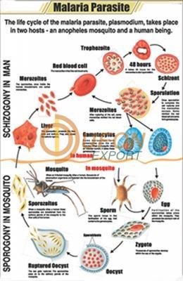 Malaria Parasite Chart