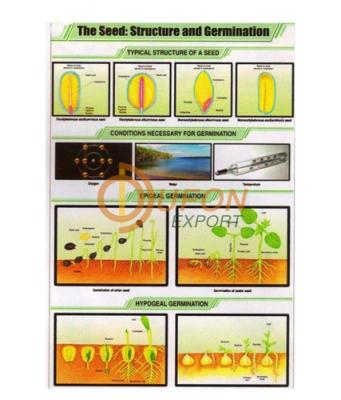 The Seed: Structure and Germination Chart