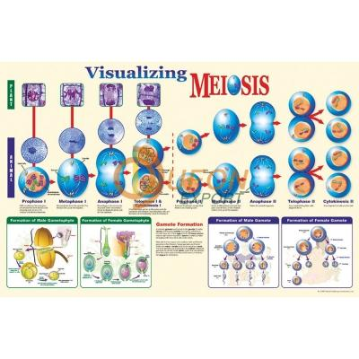 Visualising Meiosis Poster